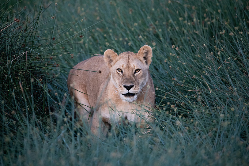 Lioness of the Marsh