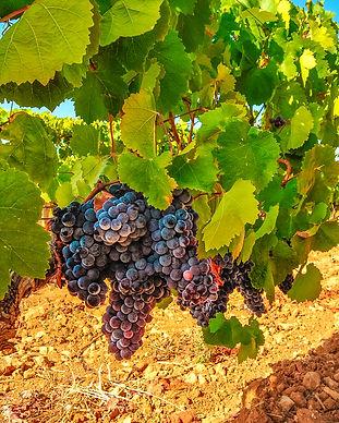 Blue grapes in a vineyard. Grape harvest