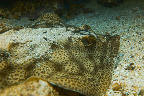 Round Spotted Sting Ray