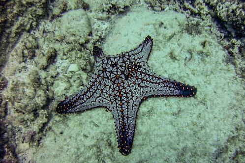 Cushion Starfish at Catalina's, Costa Rica