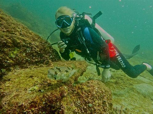 Tobi - Freckled Porcupinefish