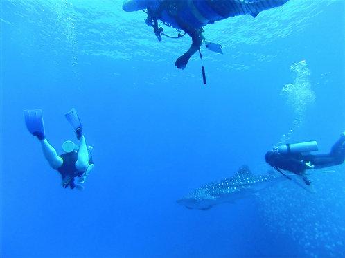 Buceo con un tiburón ballena bebé