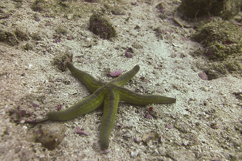 Phataria unifascialis - Tan Starfish
