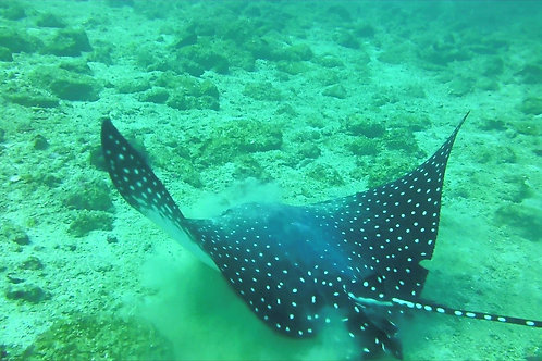 A magnificent Spotted Eagle Ray