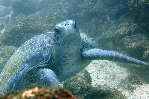 Turtle at Catalinas