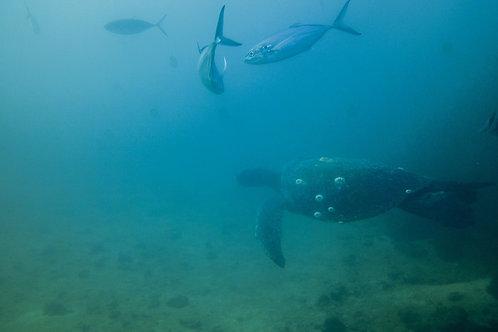 Catalina's fauna