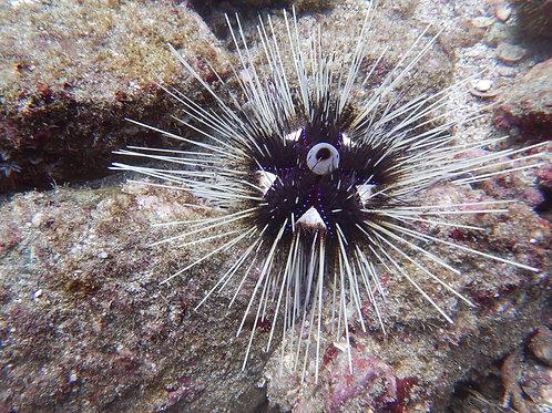 Sea Urchin at Catalina's