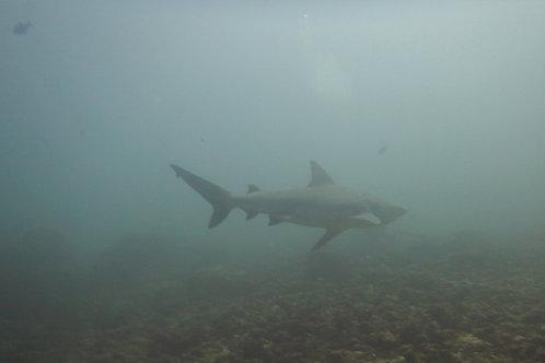 Tiburón toro en Bat Island