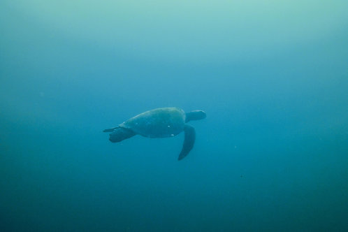 Turtle and blue