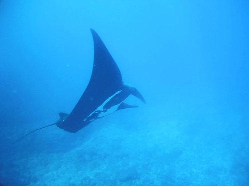 Beautiful Giant Manta