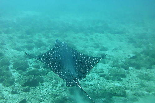 Spotted Eagle Ray Fly