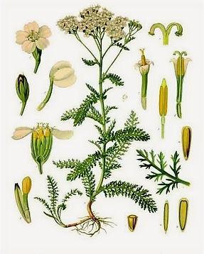 Achillea-millefolium%20P_edited.jpg