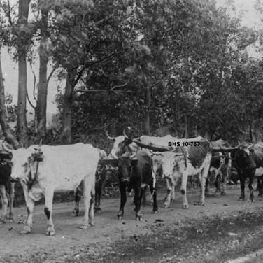 Bullock Team & Teamster of W. F. Coverley c1920