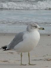 Cape fear Audubon society | Cape fear birding | Ft fisher tours | things to do in Carolina Beach