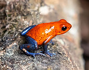 red and blue frog on brown rock_edited.jpg