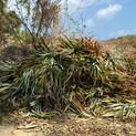 Pineapple Tops - grass for elephants