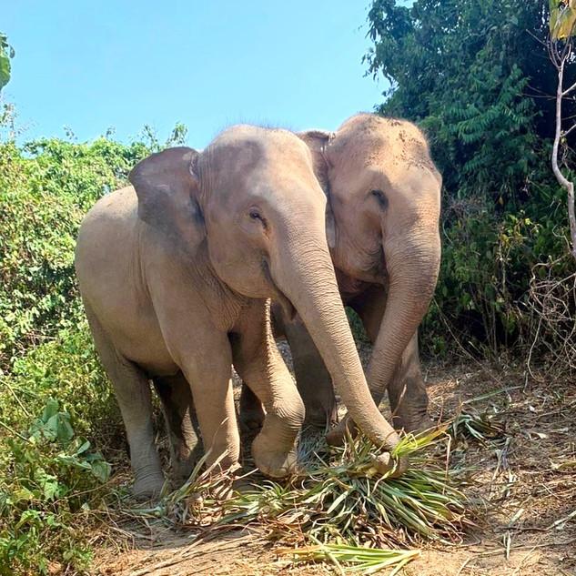 Elephants eating pineapple grass