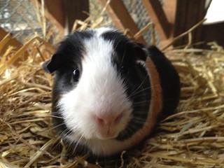 Guinea+pig.jpg