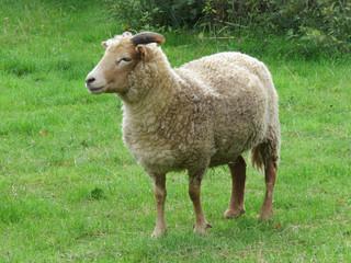 058-Solo-Sheep.jpg