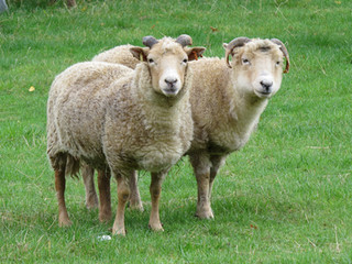 060-Sheep-Duo.jpg