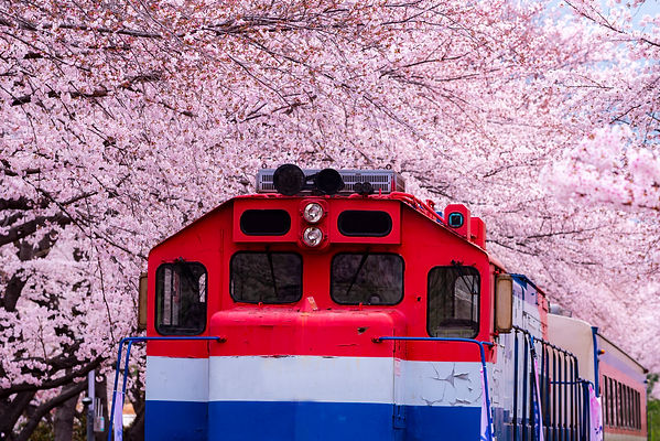 12502437_MotionElements_cherry-blossom-f