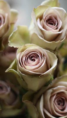 Dusky-Vintage-Amnesia-Rose
