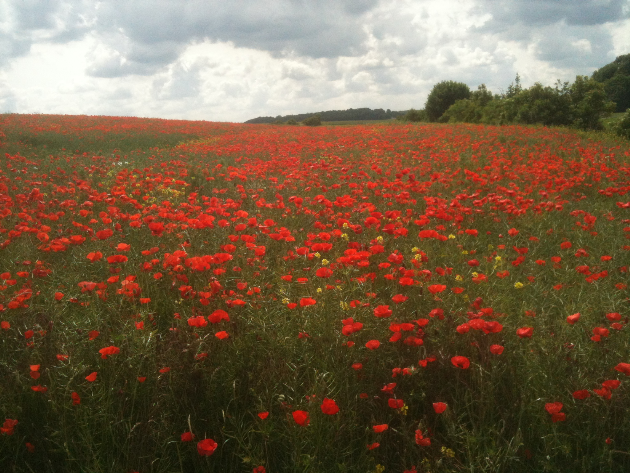 poppies at mametz