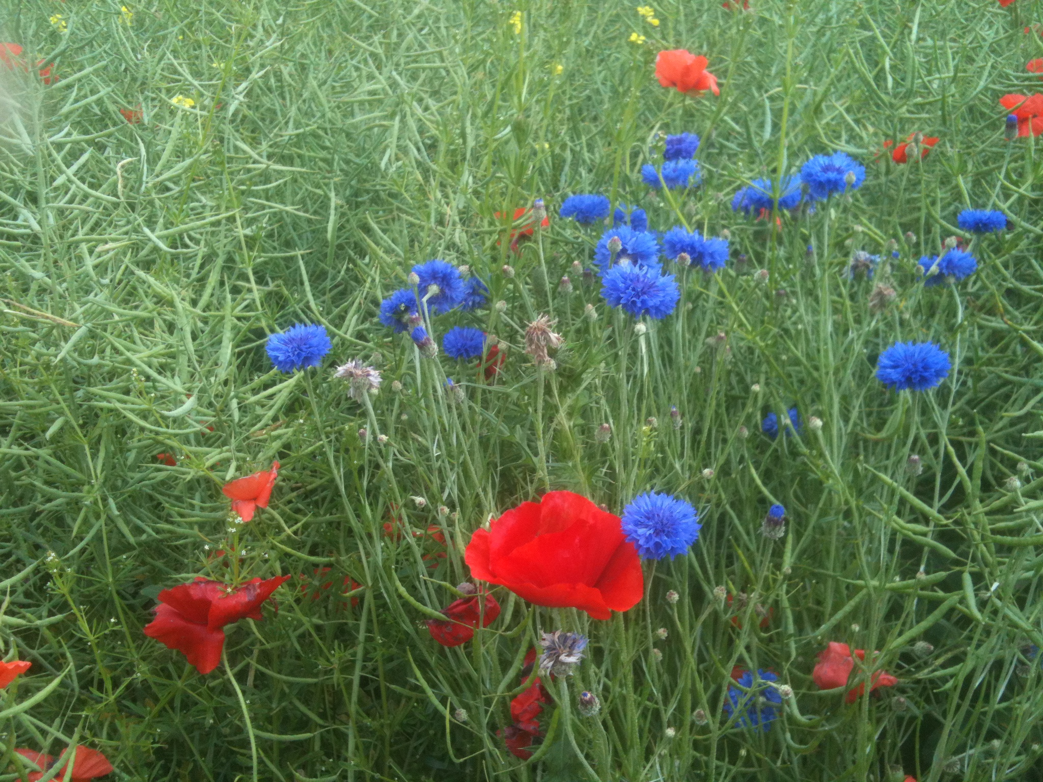 poppies and cornflowers,carnoy