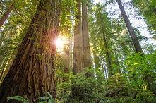 1_2_4_Old_Growth_Redwood.jpg