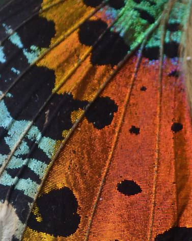 SETAE_Close_Up_of_Madagascar_Sunset_Butt