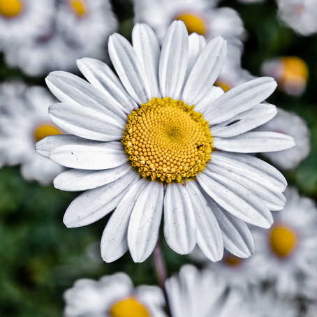 How can the CHAMOMILE FLOWER benefit your skin?