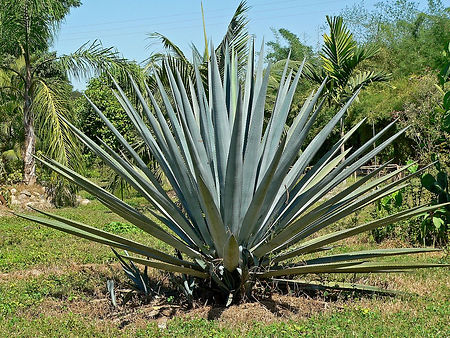 1200px-Agave_tequilana_1.jpg