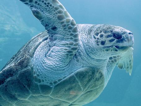 How Plastic Pollution is Killing Sea Turtles