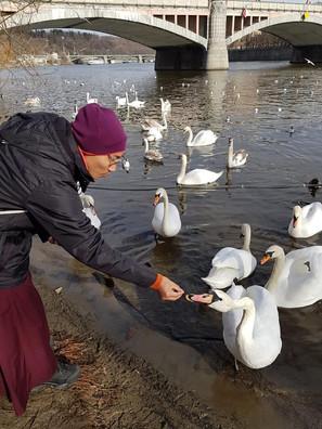 Krmení labutí v Praze
