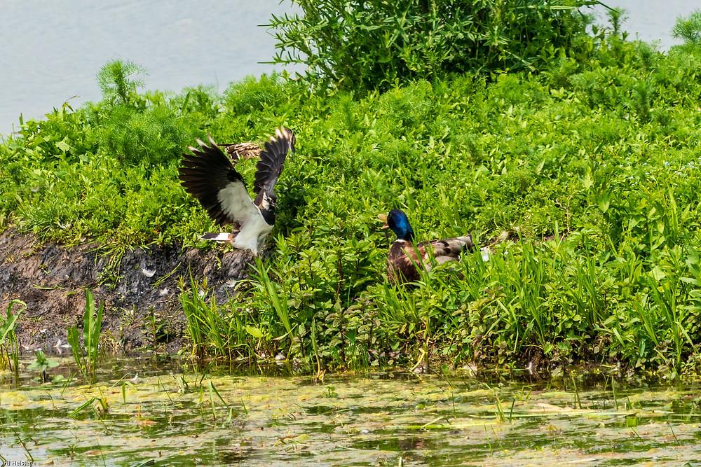 Kiebitz im Angriff auf eine Ente