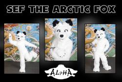 Sef the Arctic Fox