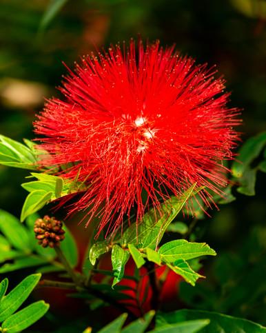 Brownea Ariza, la flor roja del carbonero o rosa de monte
