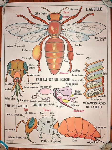 photo zoologie abeille.jpg