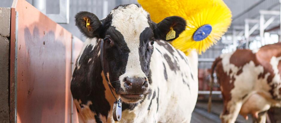 İnek Kaşıma Fırçasının önemi / The importance of Cow Brushes