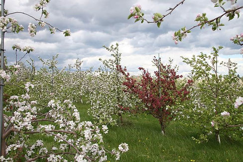 Budding apple trees