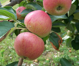 Somerset Redstreak Apples