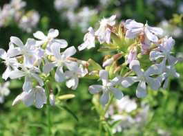What is Soapwort and How Do I Make Soap From It?