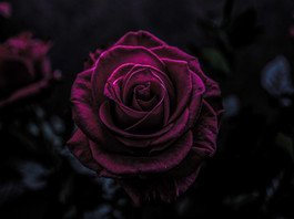 THE HISTORY AND MYSTERY OF THE FRAGRANCE OF ROSES