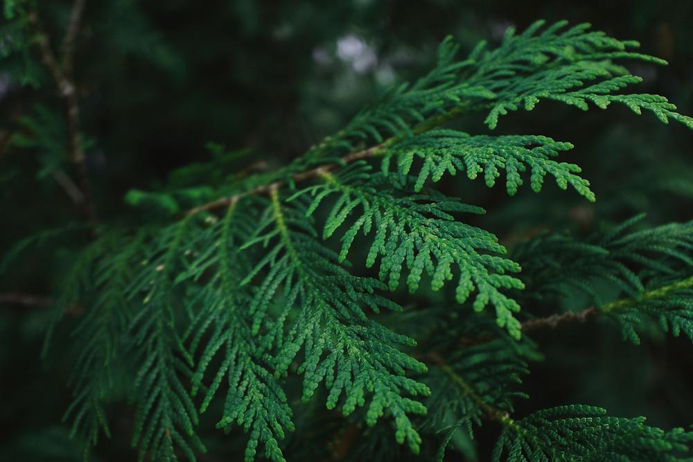 A branch of fragrant cedarwood