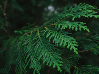 5 cedarwood essential oils to use in your soapmaking