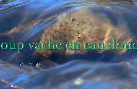 Ariège (09) Coup vache en eau douce