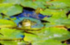 frog pond.jpg