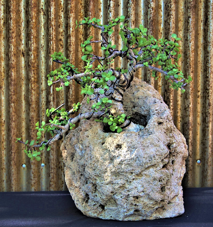 Elephant Food, Portulacaria afra, Rock p