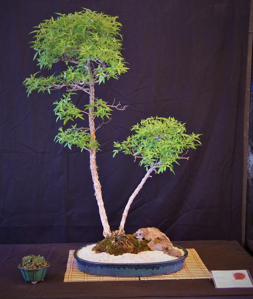 Vitex, Vitex agnus castus, Twin trunk, 1