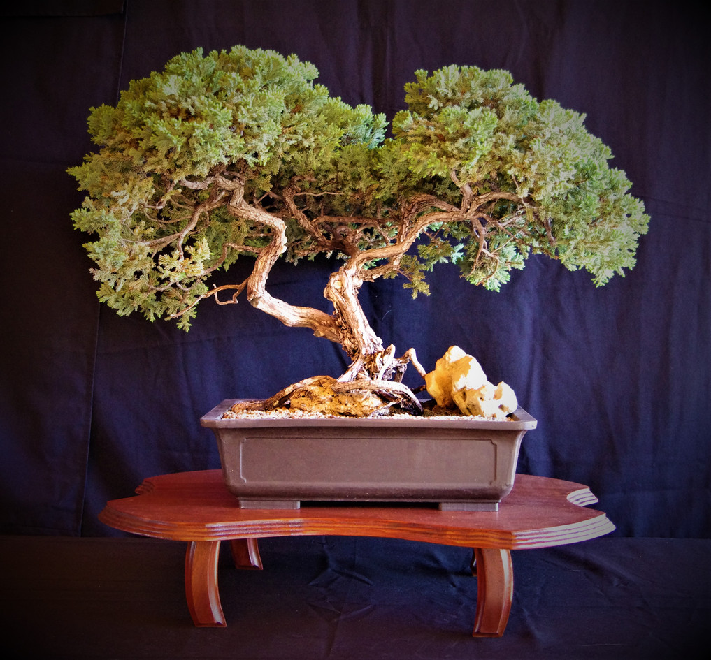 Juniper Over Rock, Juniperis sp, 65 yrs